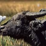 Büffelreiher Auge in Auge mit Wasserbüffel, Foto: Per-Andre Hoffmann